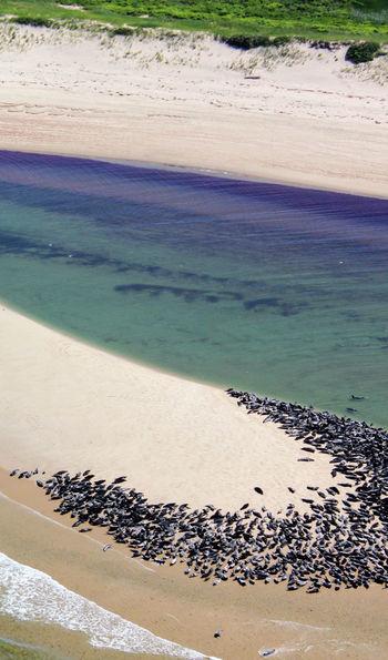 Colony of seals at Cape Cod