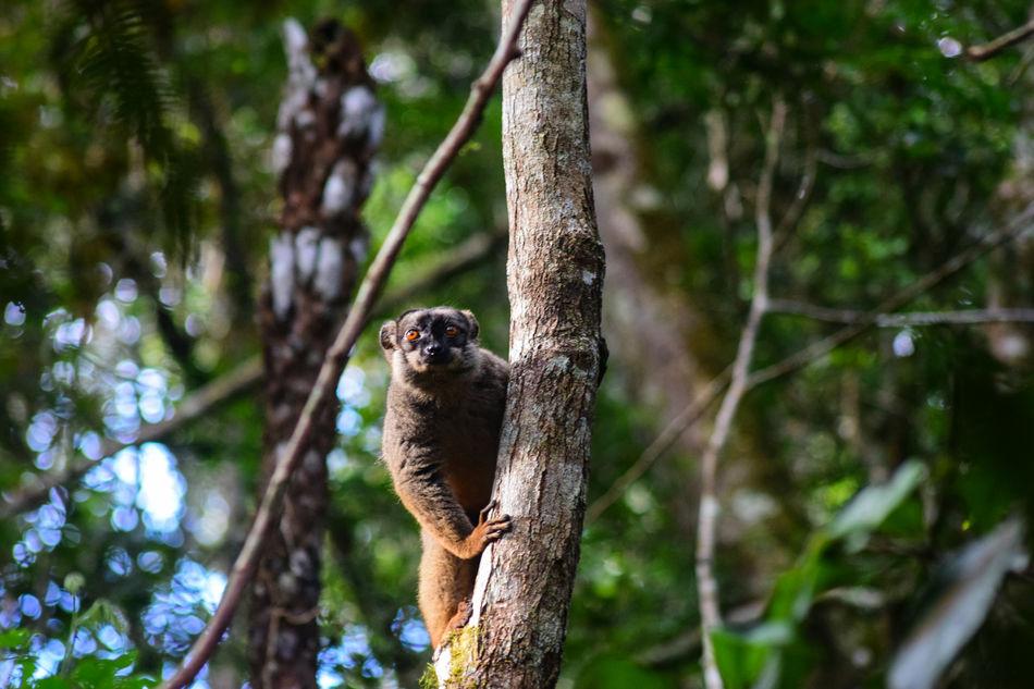 Common brown lemur, Andasibe National Park