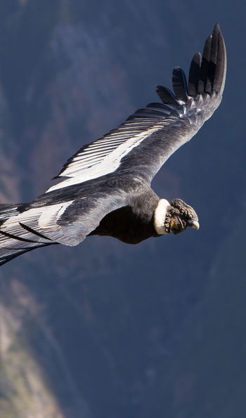 Condor Crossing, Colca Canyon, Peru