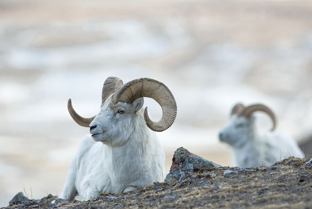 Dall sheep of The Yukon, Canada