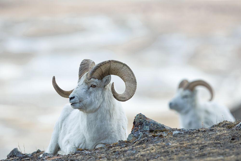 Dall sheep of The Yukon, Canada