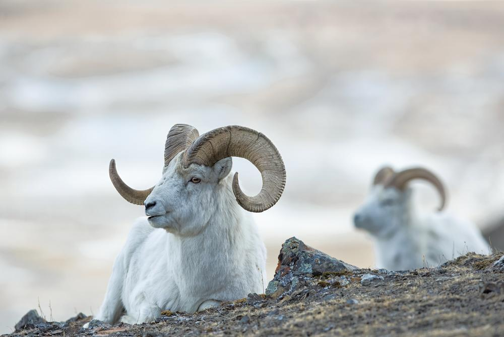 Dall Sheep in the Yukon