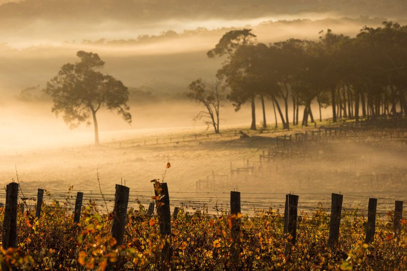 Dawn in the vineyards, Margaret River