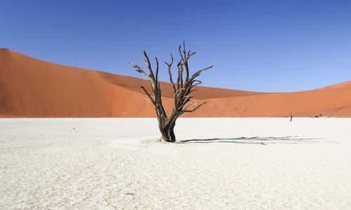 Dead acacia tree, Namib Desert