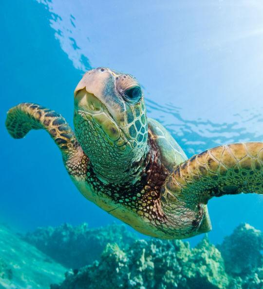 Sea turtle, Denis Private Island, Seychelles