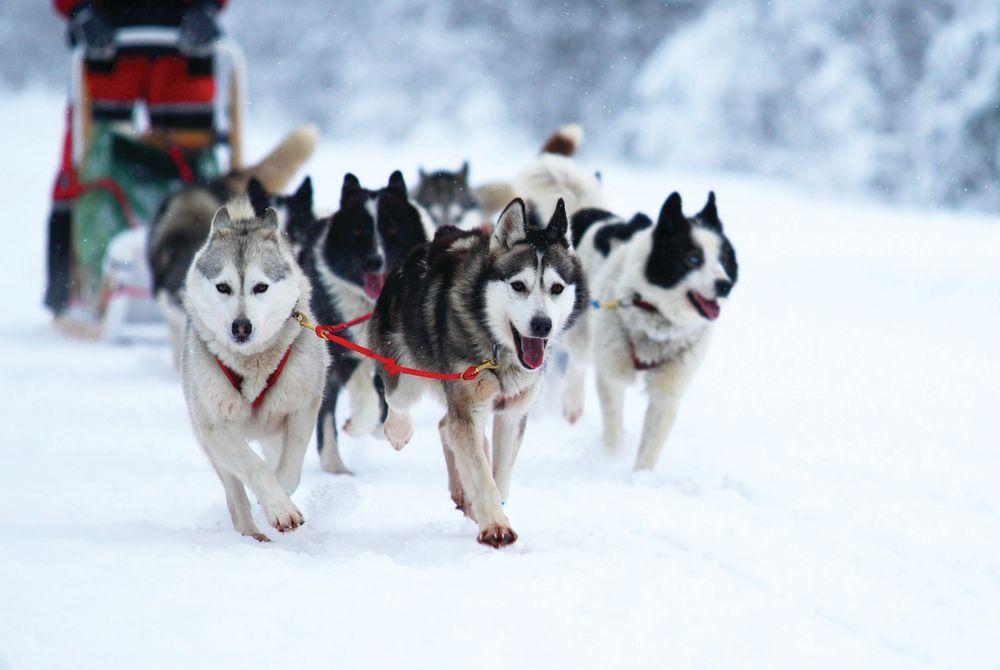 Dog Sledging, Arctic Circle, Norway
