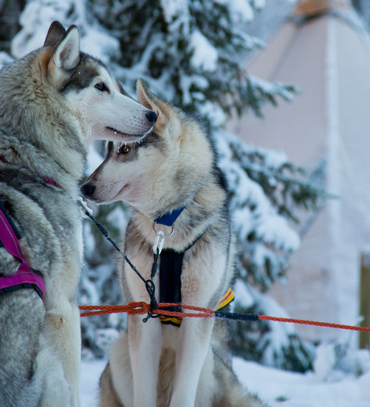 Dog Sledging, Swedish Lapland, Sweden