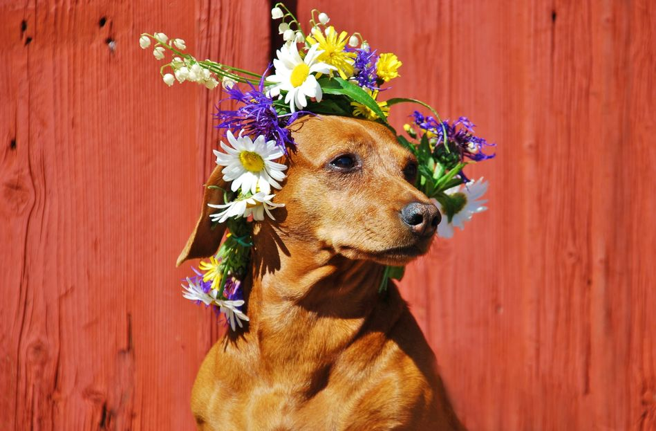 A very stylish dog, wearing a traditional Swedish Midsummer crown