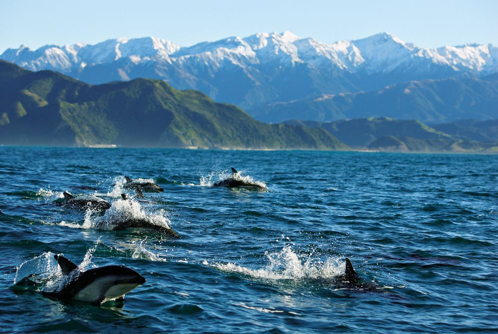 Dolphins, Kaikoura. South Island, New Zealand