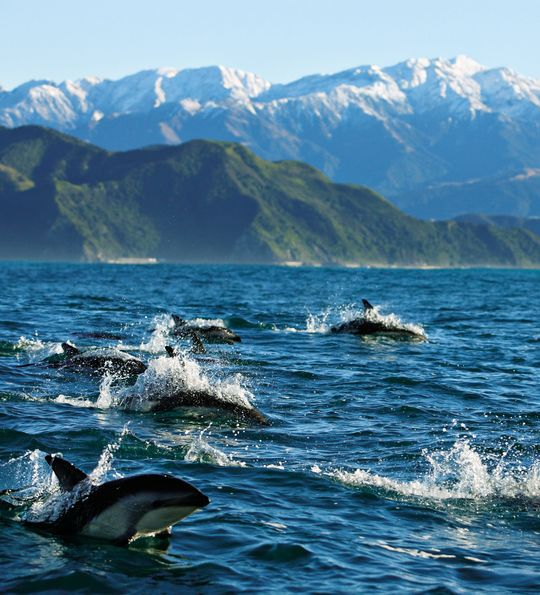 Dolphins of Kaikoura off South Island, New Zealand