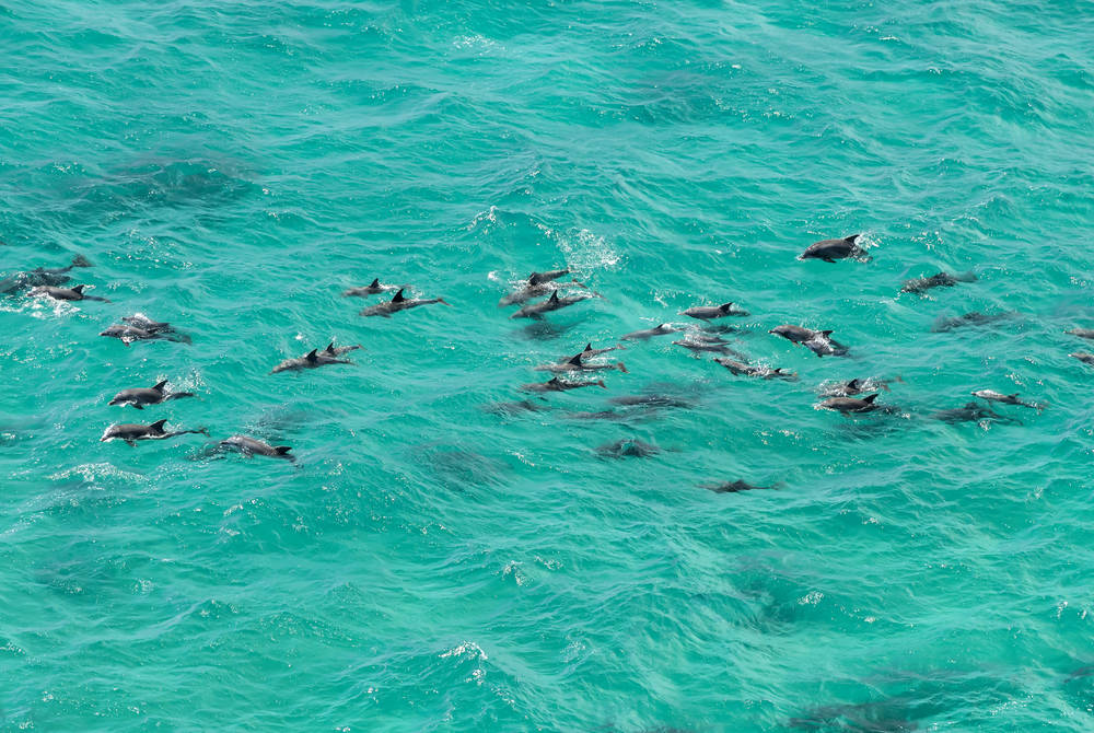 Dolphins, New South Wales
