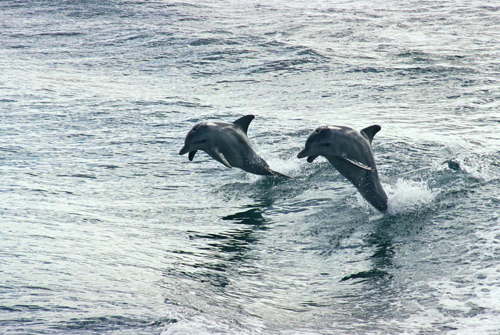 Dolphins, Rockingham
