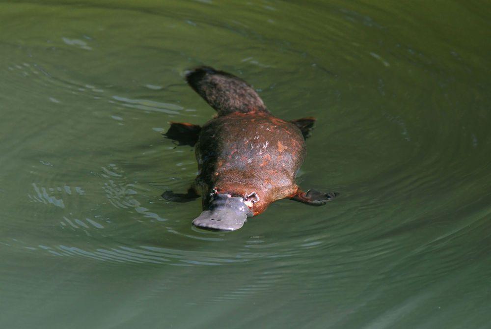 Duck Billed Platypus, Atherton Tablelands, Queensland