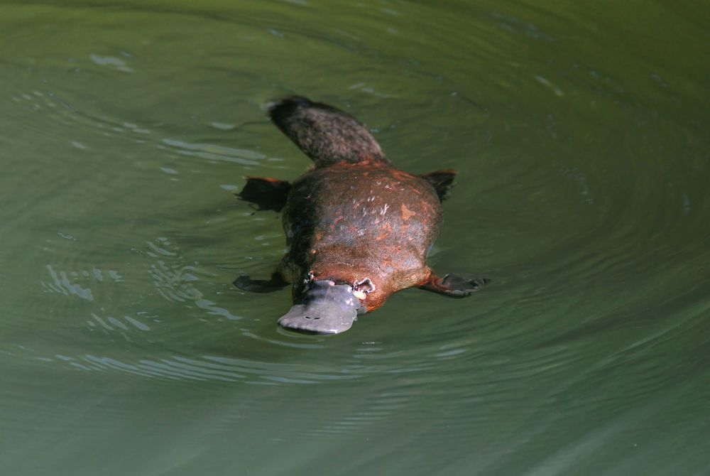 Duck Billed Platypus, Atherton Tablelands, Queensland
