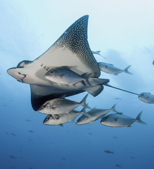 Eagle ray swimming with a small school of jack fish in the Galapagos