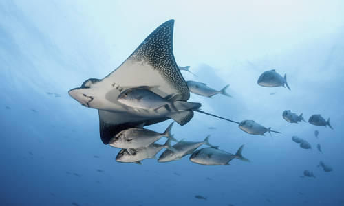 Eagle Ray, the Galápagos
