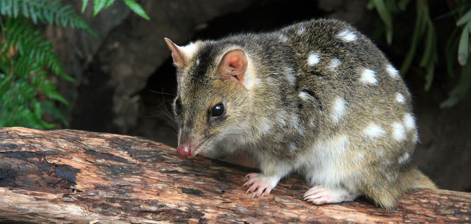 Eastern Spotted Quoll of Tasmania