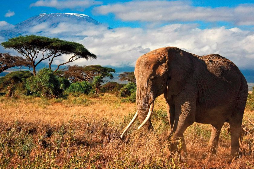 Elephant, Amboseli National Park