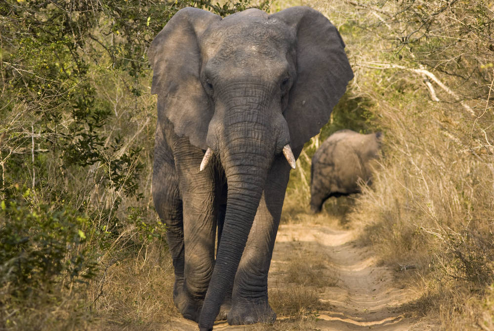 Elephant, Phinda Game Reserve