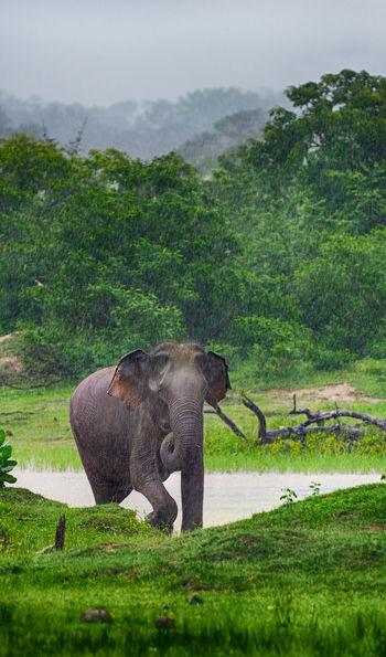 Asian elephants in Sri Lanka