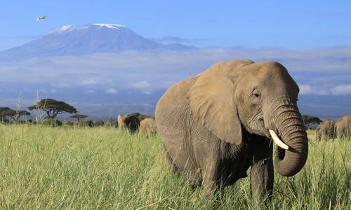 Elephant and Mt. Kilimanjaro, Amboseli National Park