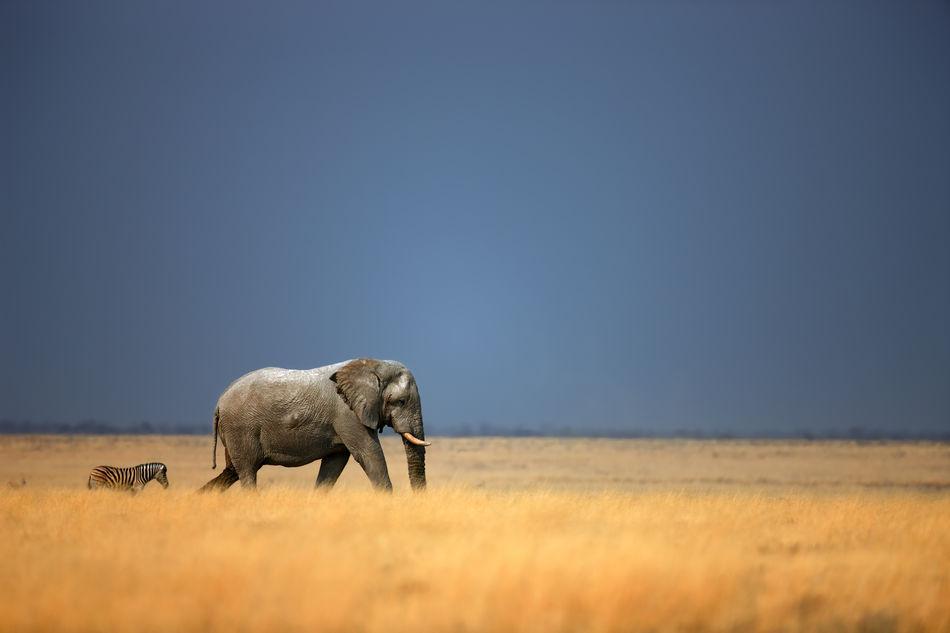 Elephant and zebra in Etosha National Park in Namibia