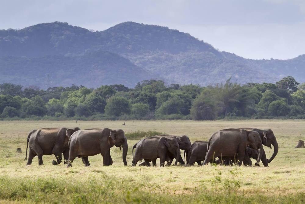 Elephant herd in Minneriya National Park
