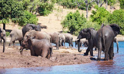 Elephants, Chobe River, Botswana, Africa