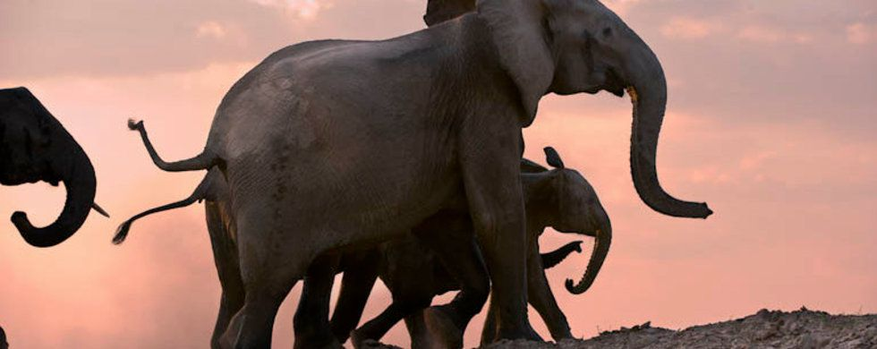 Elephants, Walking Safari, Robin Pope Safaris, Wilderness Camps