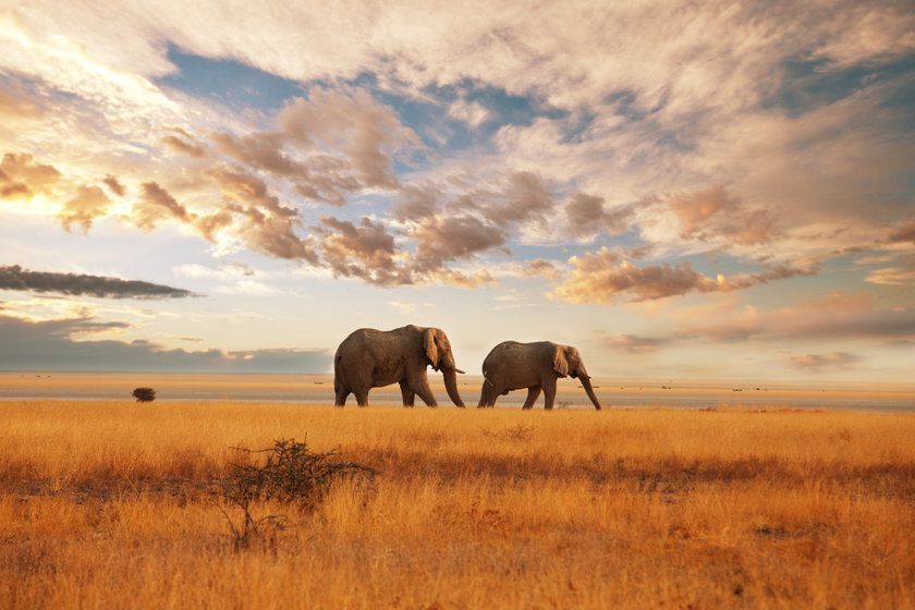 Elephants in Savannah, Kenya