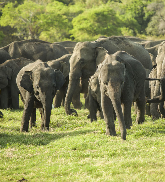 Elephants of Minneriya National Park