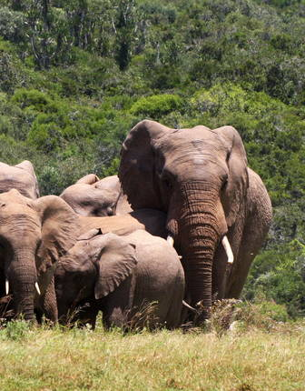Elephants on the Eastern Cape, South Africa