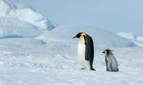 Emperor Penguin Chick follows after father in Antarctica