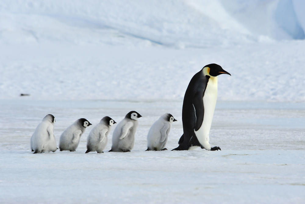 Emperor penguin parents and chicks walking across ice in Antarctica