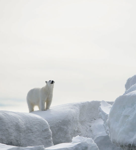 A polar bear in Northern Svalbard, seen on a Silver Cloud Zodiac cruise