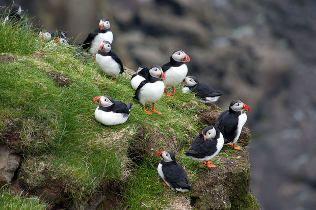 Faroese puffins