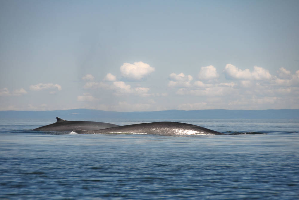 Fin whales, St Lawrence river, Quebec