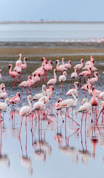 Group of flamingos at Walvis Bay, Namibia