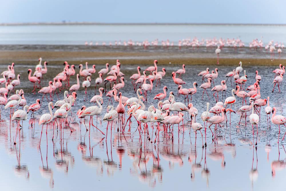 Flamingos, Walvis Bay, Namibia