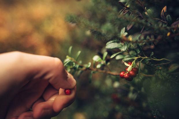 Picking wild berries in Levi, Finnish Lapland