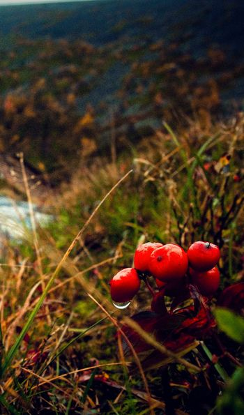 Forage for berries, mushrooms and wild herbs, Finnish Lapland
