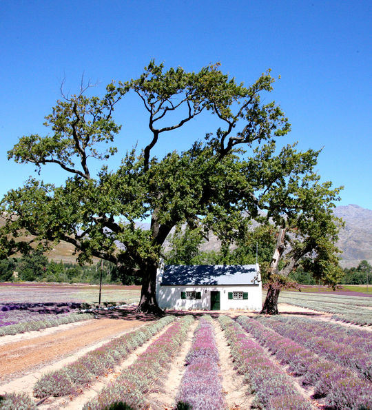 Lavender fields in Franschhoek, Winelands in South Africa