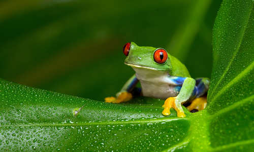 Frog in the Amazon, Peru