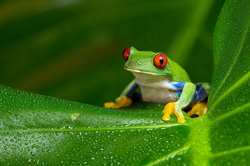 Frog in Amazon Jungle