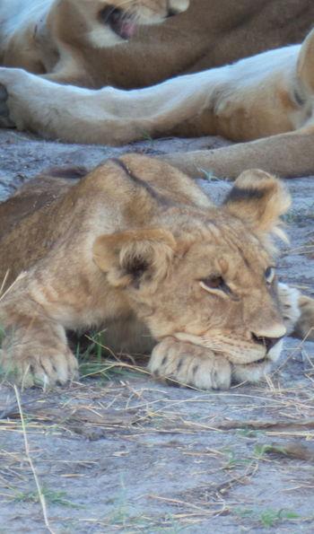 Lion cub, Botswana