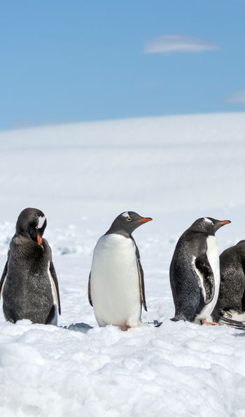 Gentoo Penguins on Greenwich Island