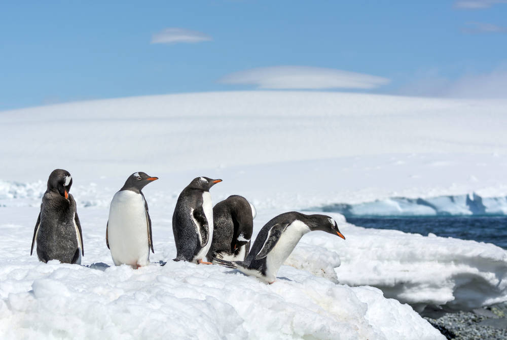 Gentoo Penguins, South Shetland Islands, Antarctica