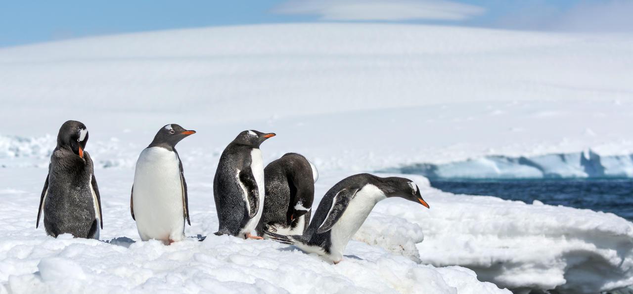 Gentoo Penguins, Greenwich Island (South Shetland Islands), Antarctica
