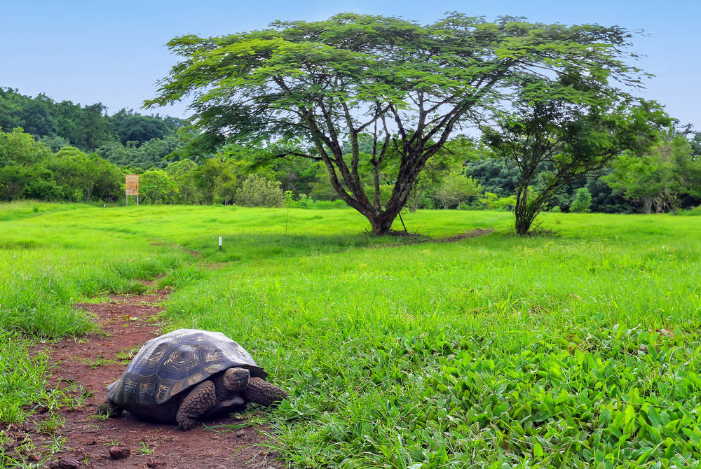 Giant tortoise, the Galápagos