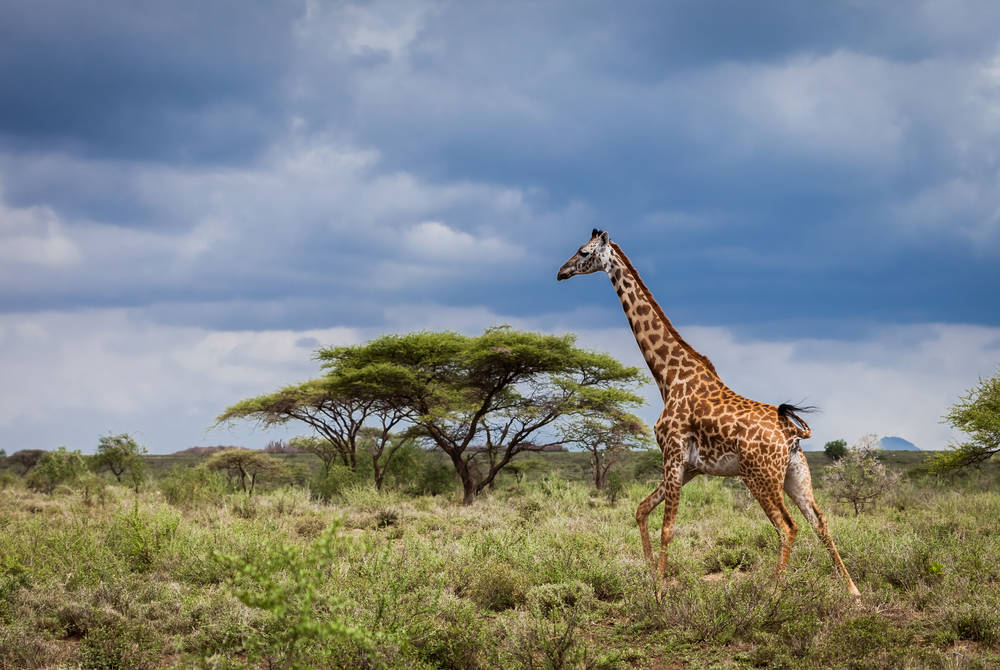 Giraffe and baobab tree, Serengeti National Park